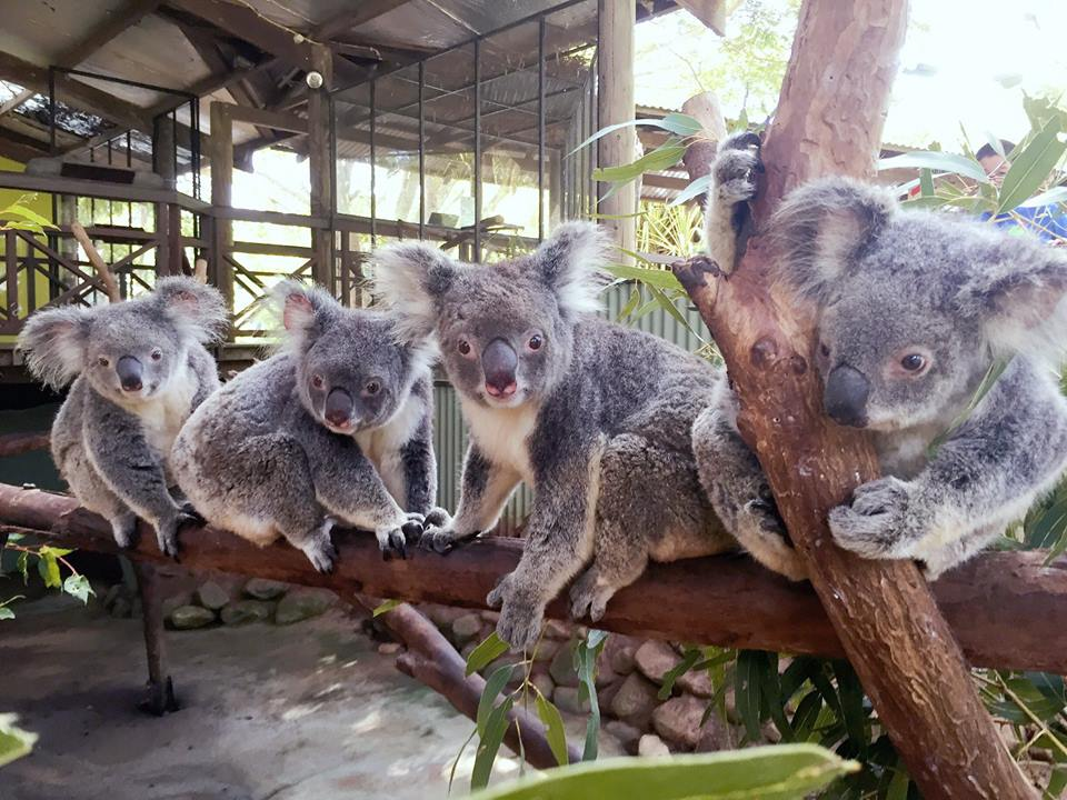 Koalas at Rainforestation
