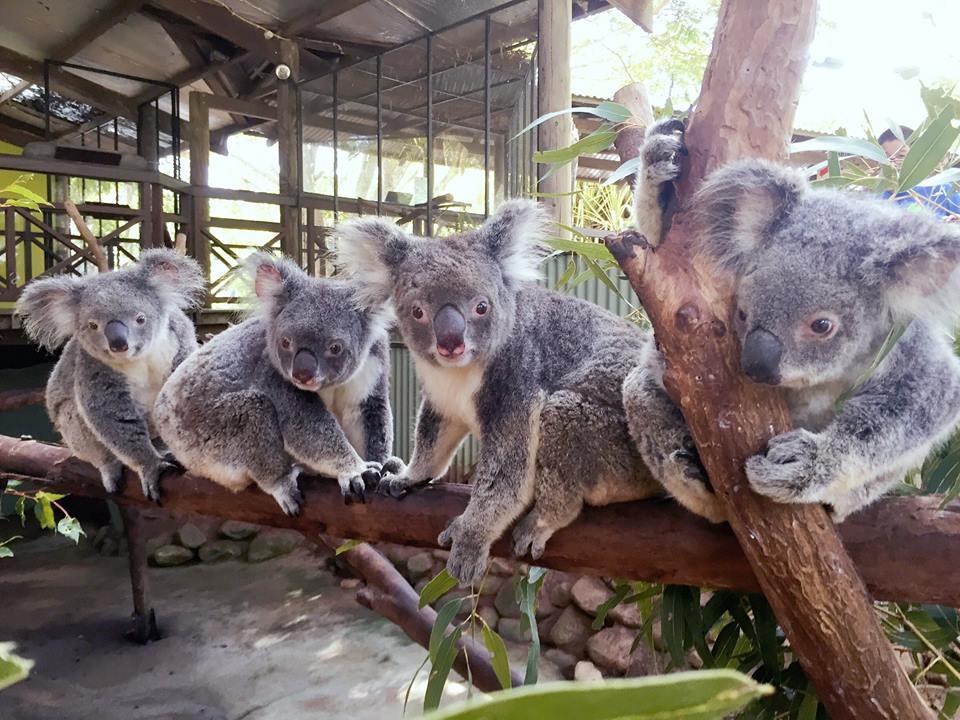 Koalas at Rainforestation
